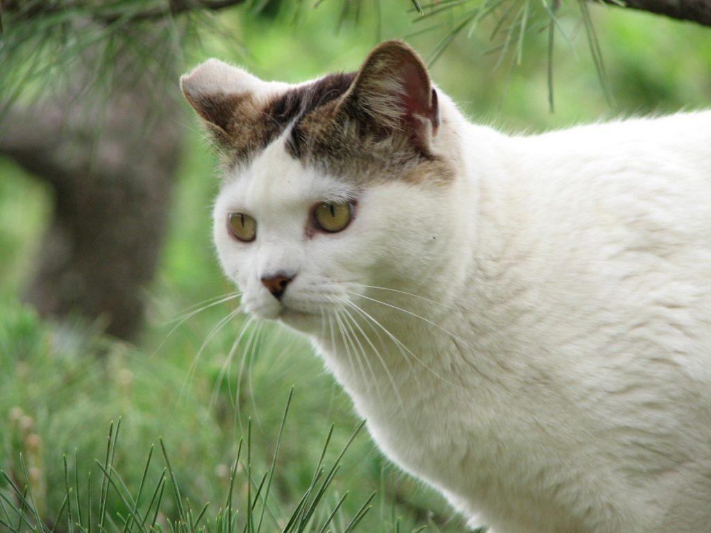 Tratamiento del hipertiroidismo en gatos