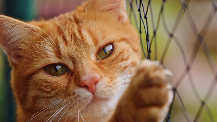 Tratamiento del hipotiroidismo en gatos