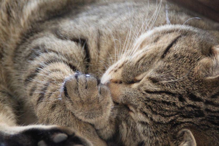 Vitaminas para gatos con leucemia