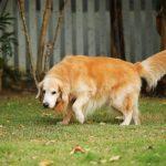 cómo detectar la artritis en perros
