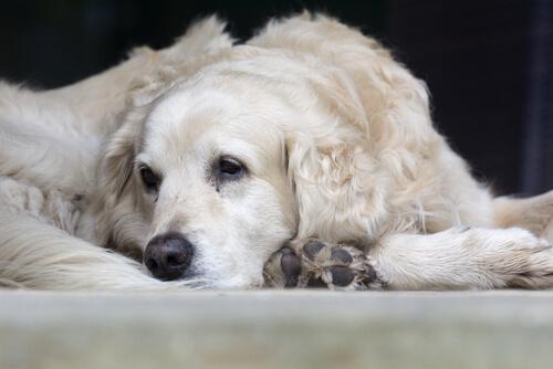 detectar la artritis en perros