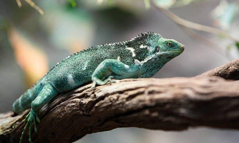 iguana crestada de Fiji