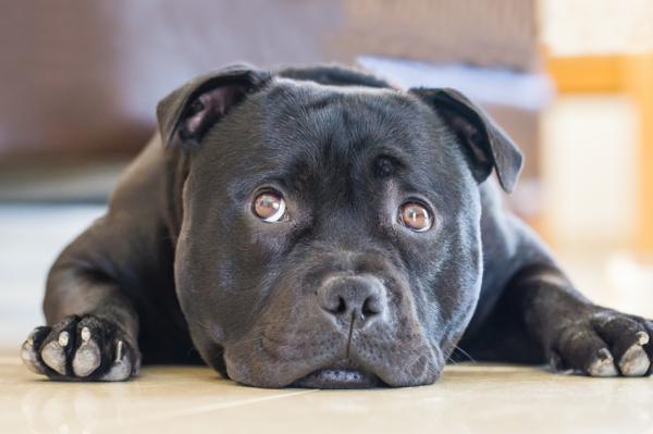 perro peligroso a consecuencia de un dueño irresponsable o maltratador