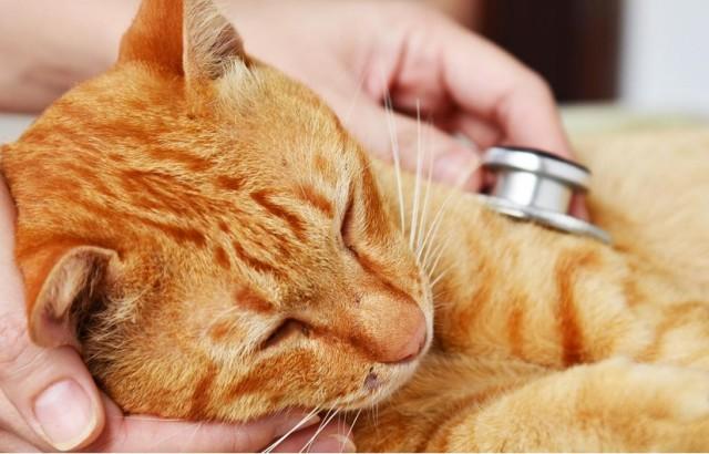 prevenir la leucemia felina