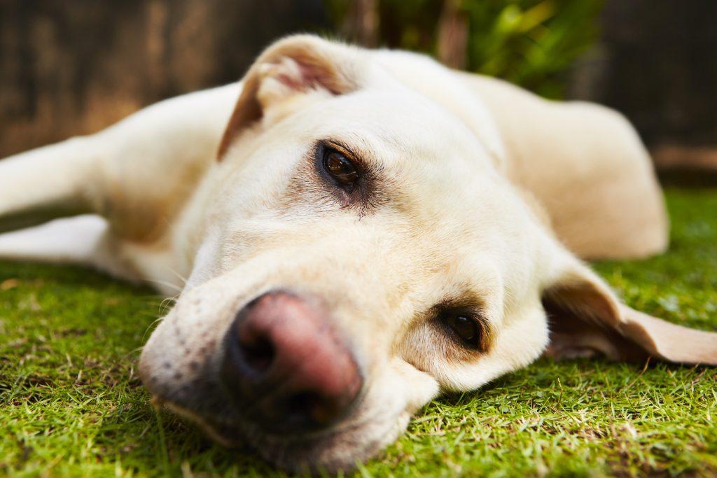 reconocer los ataques de pánico en perros