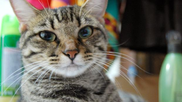 tranquilizantes naturales para gatos
