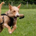 Ácaros en las orejas de los perros