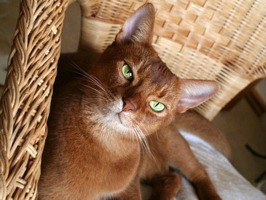 Carácter de la raza de gato somalí