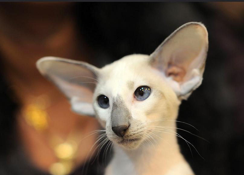 Así es la salud de la raza de gato oriental de pelo corto
