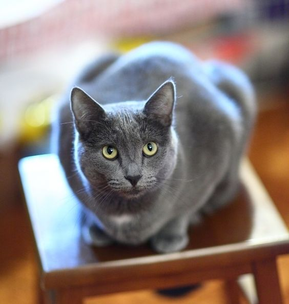 Aspecto del gato korat