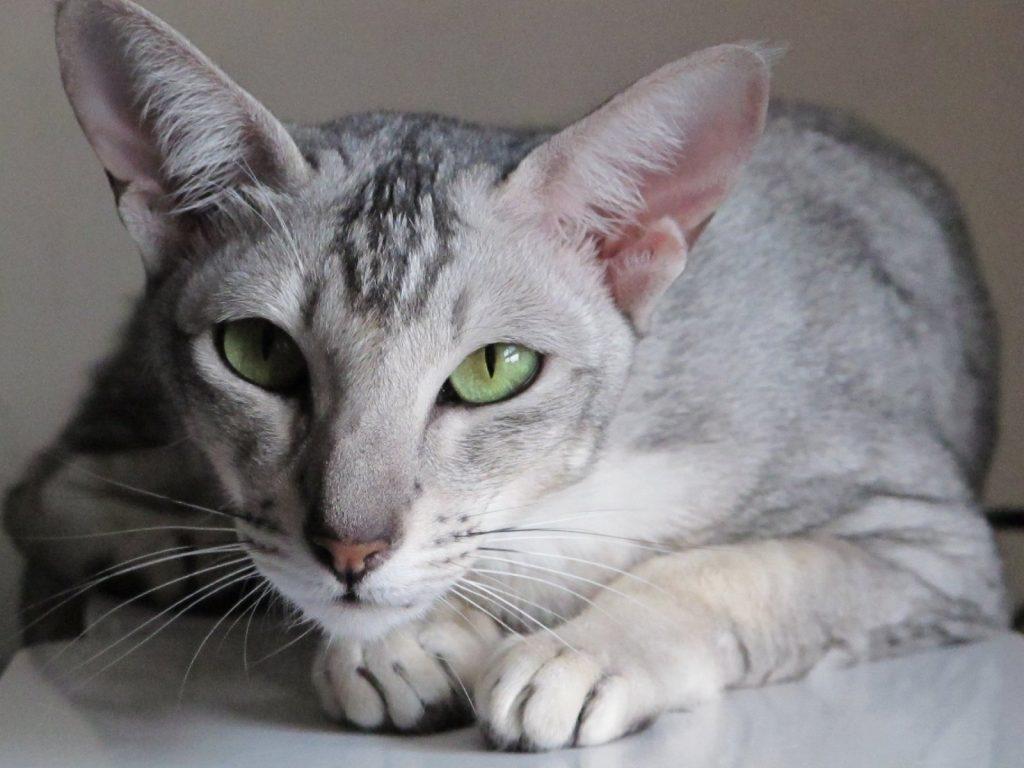 Cómo cuidar a un gato oriental de pelo corto