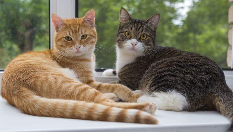Cómo detectar el sobrepeso en gatos