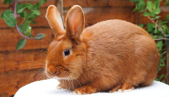 Cómo detectar las garrapatas en conejos