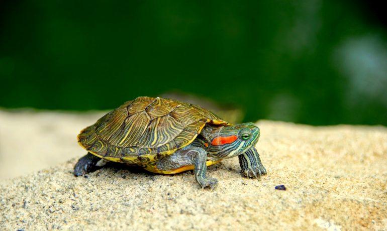 Cómo hacer un acuaterrario para tortugas