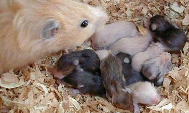 Resultado de imagen para hamster y su cria