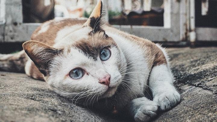 Cómo saber si tu gato tiene diabetes