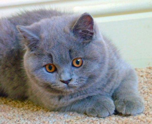 Carácter de la raza de gato británico de pelo corto azul