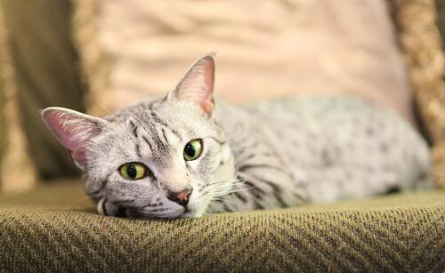 Carácter de la raza de gato mau egipcio
