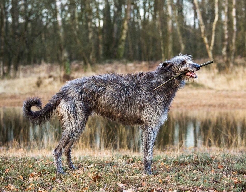 Carácter del galgo escocés o deerhound