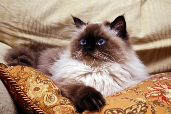 Carácter del gato himalayo