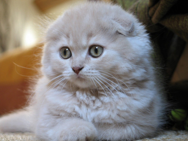 Características de la raza de gato Highland fold