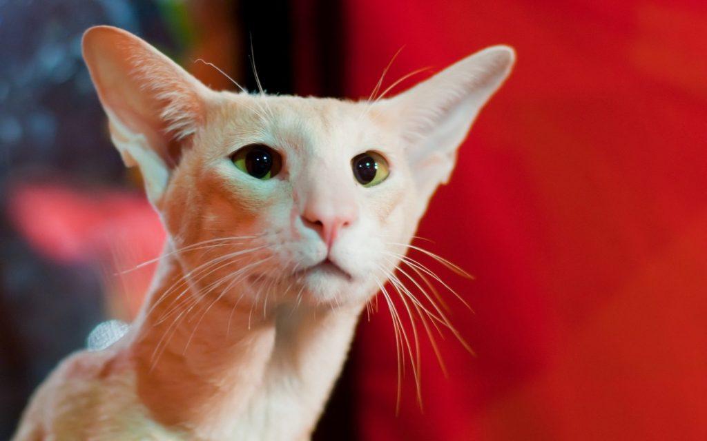 Características de la raza de gato Peterbald