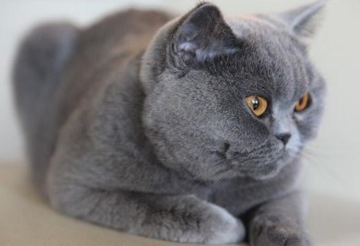 Características de la raza de gato británico de pelo corto azul