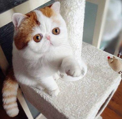 Características de la raza de gato exótico de pelo corto