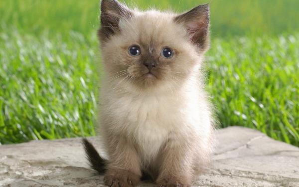 Características de la raza de gato himalayo