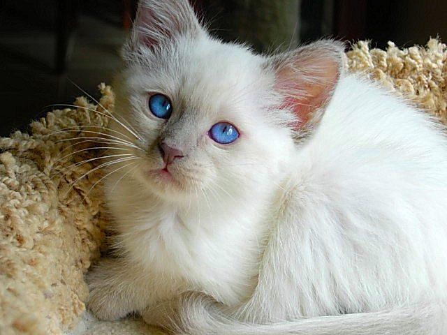 Características de la raza de gato javanés