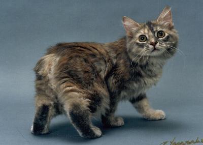Características de la raza de gato manx