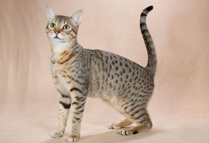 Características de la raza de gato mau egipcio