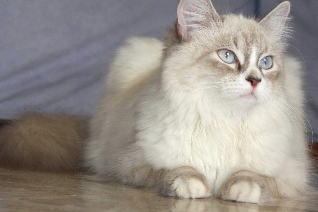 Características de la raza de gato neva masquerade