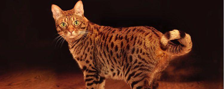 Características de la raza de gato ocicat