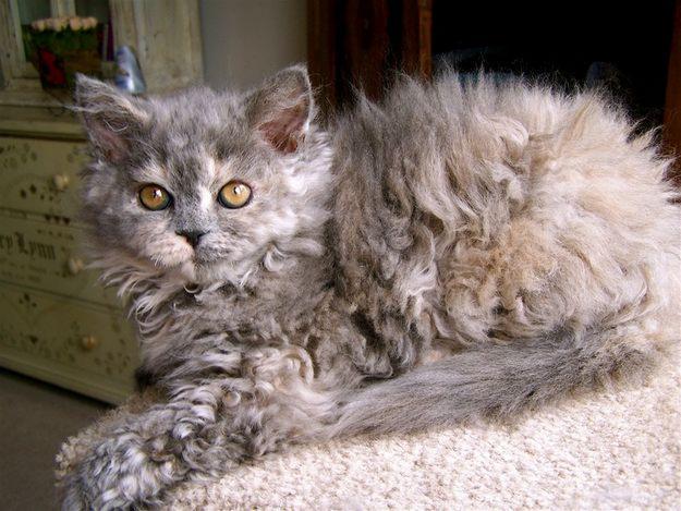 Características de la raza de gato selkirk rex