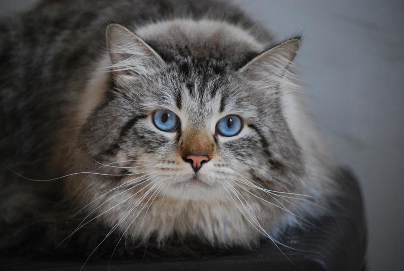 Características de la raza de gato siberiano