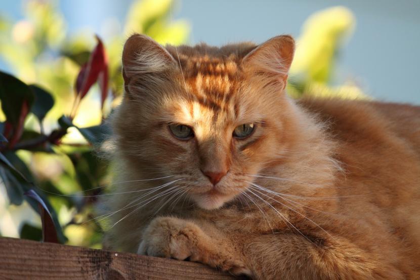 Características del gato atigrado naranja