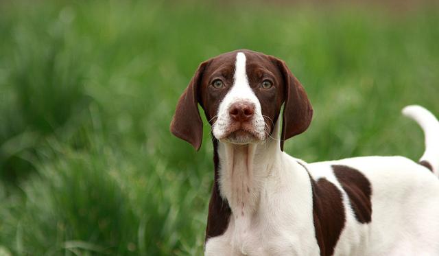 Características del perro pointer inglés