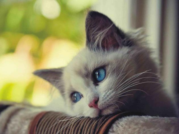 Causas de la depresión en gatos