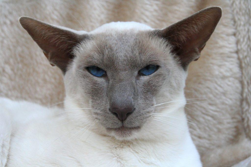 Causas de la deshidratación en gatos