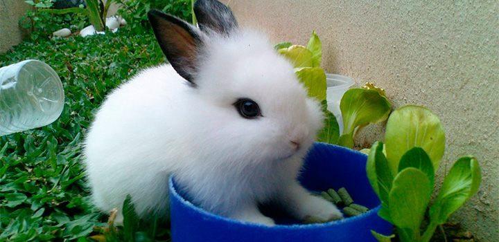 Causas de la otitis en conejos