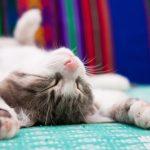Cistitis idiopática felina