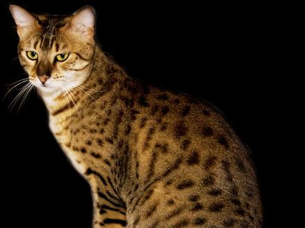Comportamiento de la raza de gato ocicat