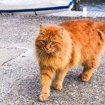 Conoce al estupendo gato atigrado naranja