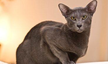 Conoce la raza de gato oriental de pelo corto
