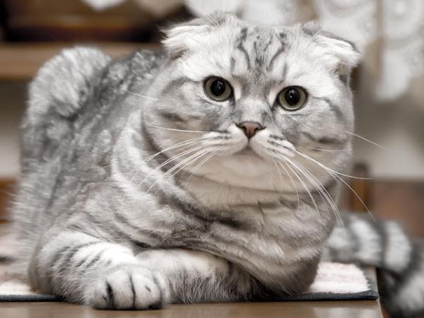 Cuidados de la raza de gato Highland fold