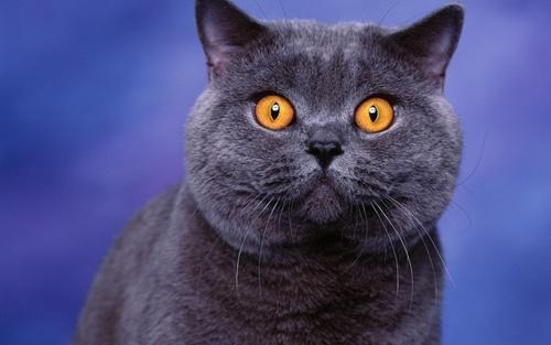 Cuidados de la raza de gato británico de pelo corto azul