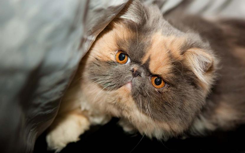 Cuidados de la raza de gato exótico de pelo corto
