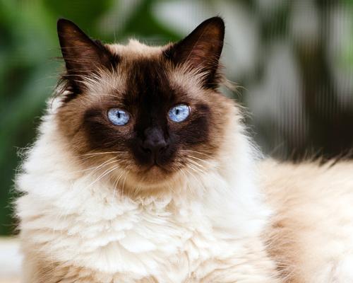 Cuidados de la raza de gato himalayo