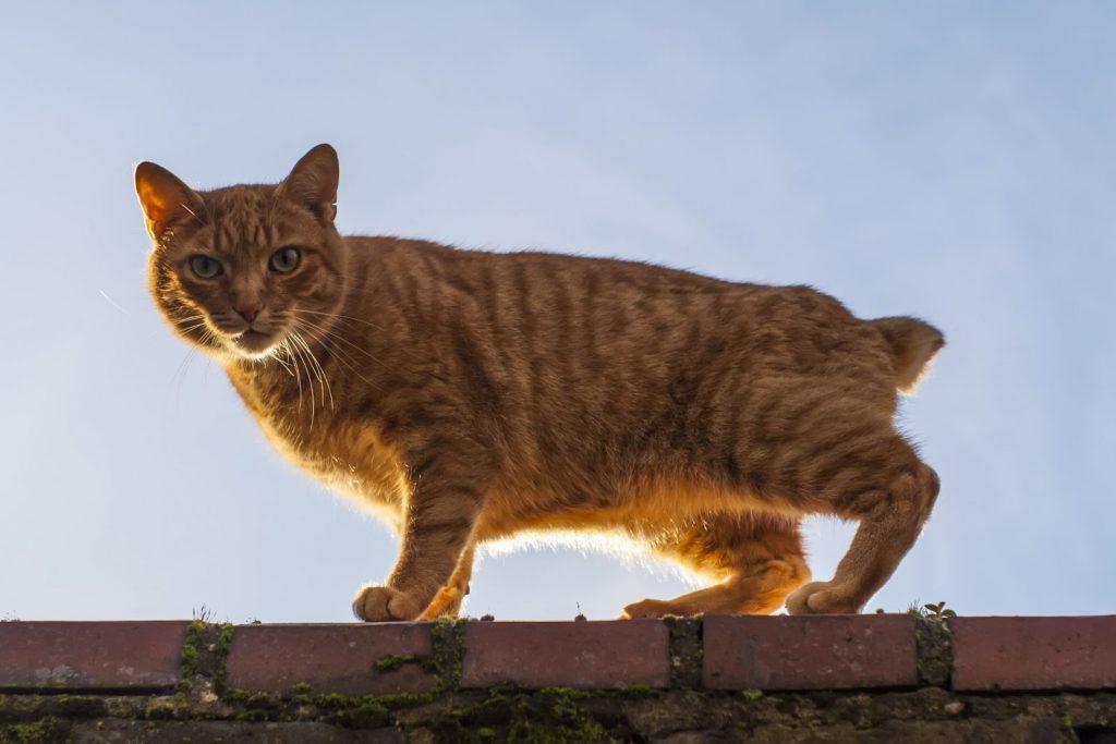 Cuidados de la raza de gato manx